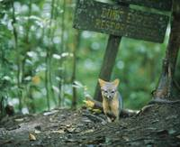 Red fox (Vulpes vulpes) in a forest