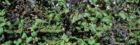 Crop of a purple wine grapes