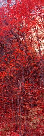 Big Tooth Maples ablaze w/Color West Fork of Oak