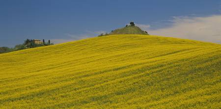 Low angle view of an oilseed rape field