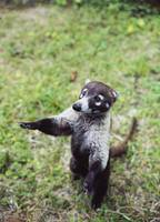 Close-up of a coati (Nasua nasua) rearing up in a