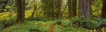 Old Growth Rain Forest Quinault Rain Forest Olymp