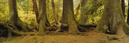 Trees And Nurse Log Hoh Rain Forest Olympic Natio