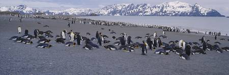 Large group of King penguins at the coast with sn