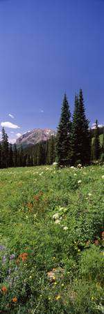 Wildflowers in a forest Crested Butte Gunnison Co