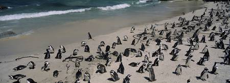 Colony of Jackass penguins (Spheniscus demersus)