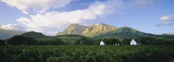 Vineyard in front of mountains
