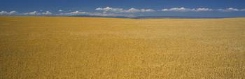 Wheat field on a landscape