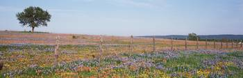 Texas Bluebonnets and Indian Paintbrushes in a fi