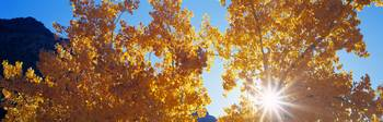 Cottonwood Tree Sun Burst