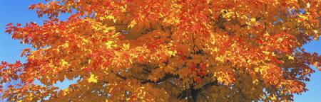 Sugar Maples MN