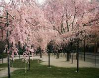 Cherry trees in a garden