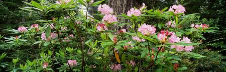 Spring Rhododendron Bloom  Humboldt Co  Redwood N