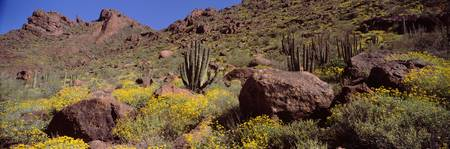 Cacti with wildflowers on a landscape Organ Pipe