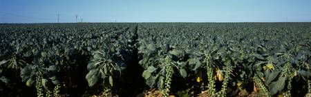 Brussel Sprouts Monterey County CA