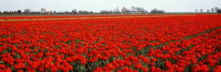 Red Tulip Field Enkhuizen Holland region Netherla