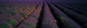 Rows Lavender Field Valensole Provence France