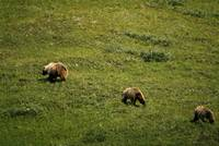 Grizzly bear sow and cubs running on grassy hills