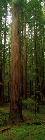 Giant Redwood Trees Ave of the Giants Redwood Nat