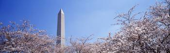 Washington Monument behind cherry blossom trees