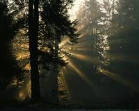 Sunbeams filter through misty evergreen forest