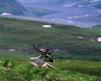 Caribou (Rangifer caribou) lying on grassy hillsi