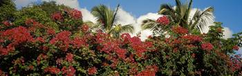 Bougainvillea St. John US Virgin Islands