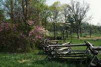 Flowering trees in bloom along fence line
