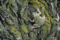 Greater gray tree frog (Hyla versicolor) on tree