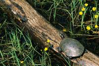 Midland painted turtle (Chrysemys picta marginata
