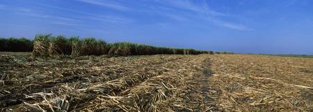 Harvested sugar cane field