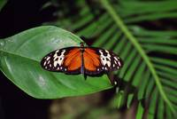 Tiger longwing butterfly (Heliconius hecale) on l