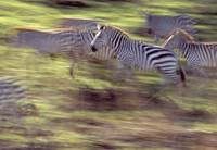 Herd of zebras running