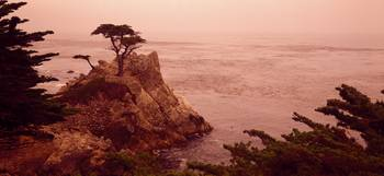 Cypress Tree Pacific Coast CA
