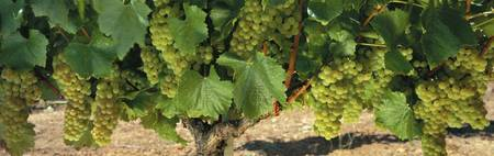 Chardonnay Grapes on the Vine Napa CA