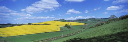 Oilseed rape Brassica napus field Exe Valley Devo