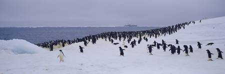Adelie Penguin Colony Possession Island Antarctic