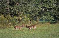 Pair of deer bucks rutting in grassy field
