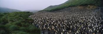 Royal Penguin Colony Macquarie Island Antarctica