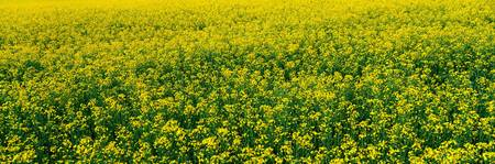 Rapeseed Field Switzerland