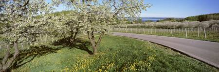 Blooming cherry trees in a vineyard