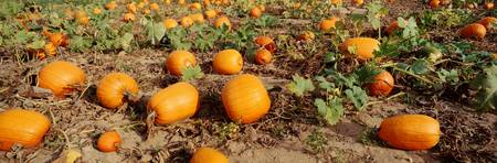 Field of ripe pumpkins