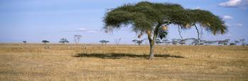 Acacia trees with weaver bird nests