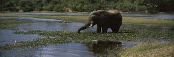African elephant Loxodonta africana wading in a l