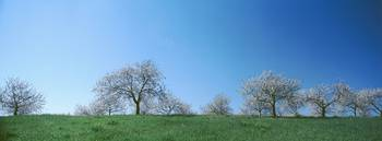 Blue sky over cherry trees