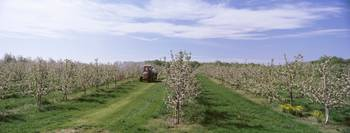 Tractor moving in an apple orchard