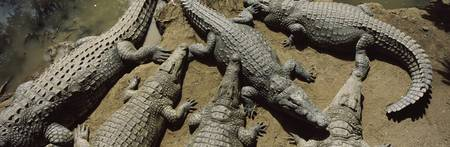 Crocodiles in a crocodile farm Victoria Falls Zim
