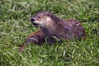 River otter (Lutra canadensis) lying in grass
