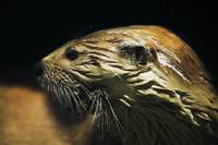 River otter (Lutra canadensis) portrait profile