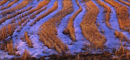 Crop stubble with snow Degernaes Sweden